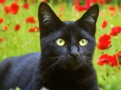10 Supersticiones sobre los gatos negros!