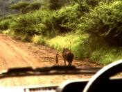 aguante timon y pumba