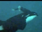 Casi se los come una Orca! Video