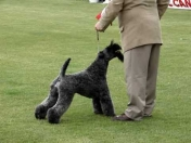 El Kerry Blue Terrier