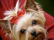 Raza Yorkshire Terrier