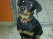 Apolo(rottweiler) y Daisy(pitbull) mis bebotes
