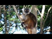 Lemur negro (Eulemur macaco) Fauna, animal (Video)